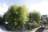 青葉の竹林